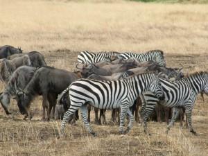 Serengeti / Büyük Göç (Zebra ve yaban Öküzleri)