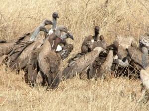 Ngorongoro / Akbabalar